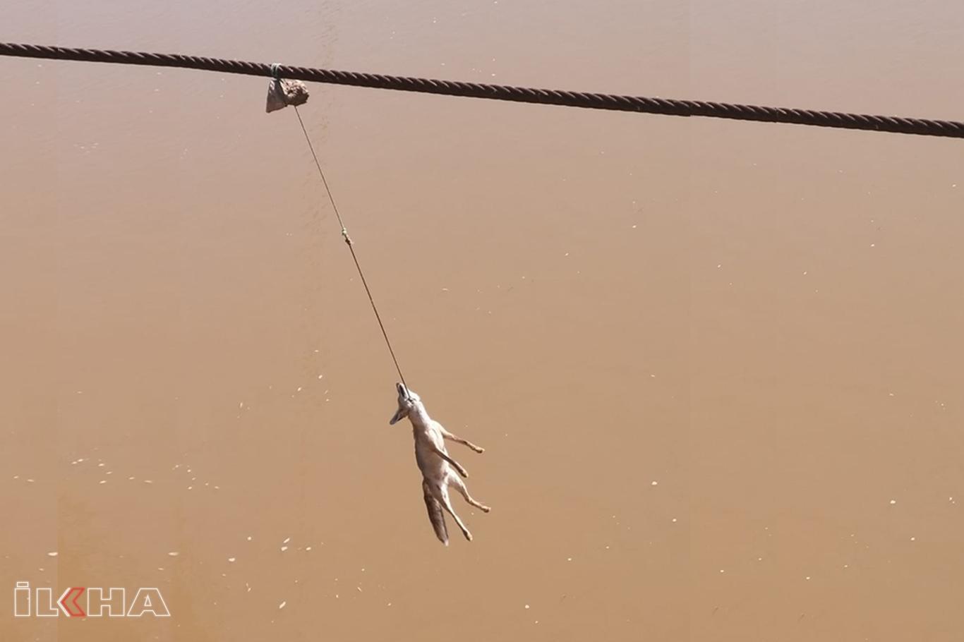 Boğazına ip geçirilen tilki öldürüldü