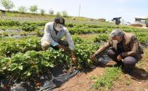 Diyarbakırda deneme amaçlı ekilen çilek hasadına başlandı.