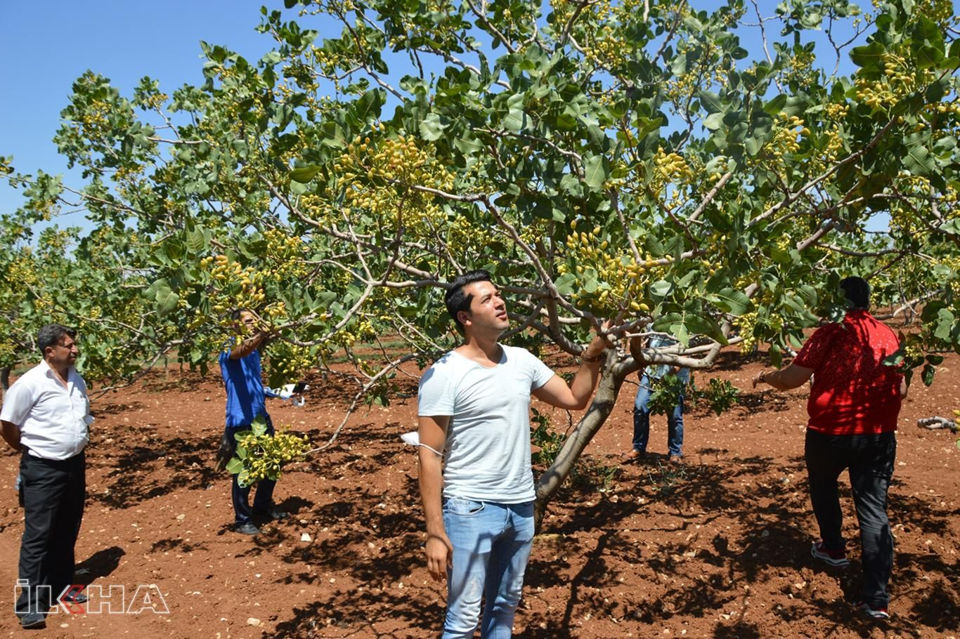 Fıstık üreticileri: Siirt'te son 10 yılın en yüksek fıstık rekoltesi bekleniyor