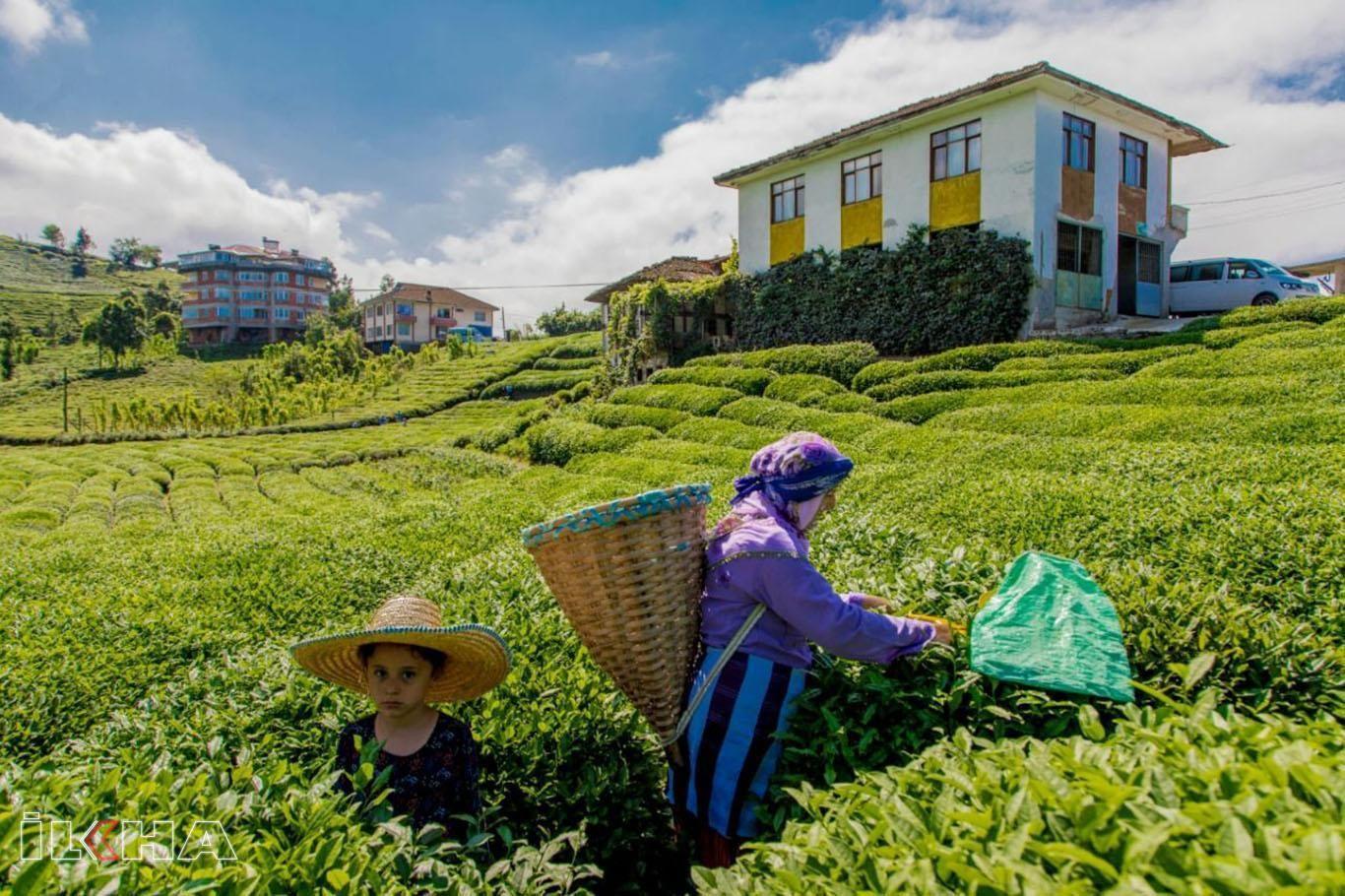 Haziran ayı yaş çay bedeli ödemelerine başlandı