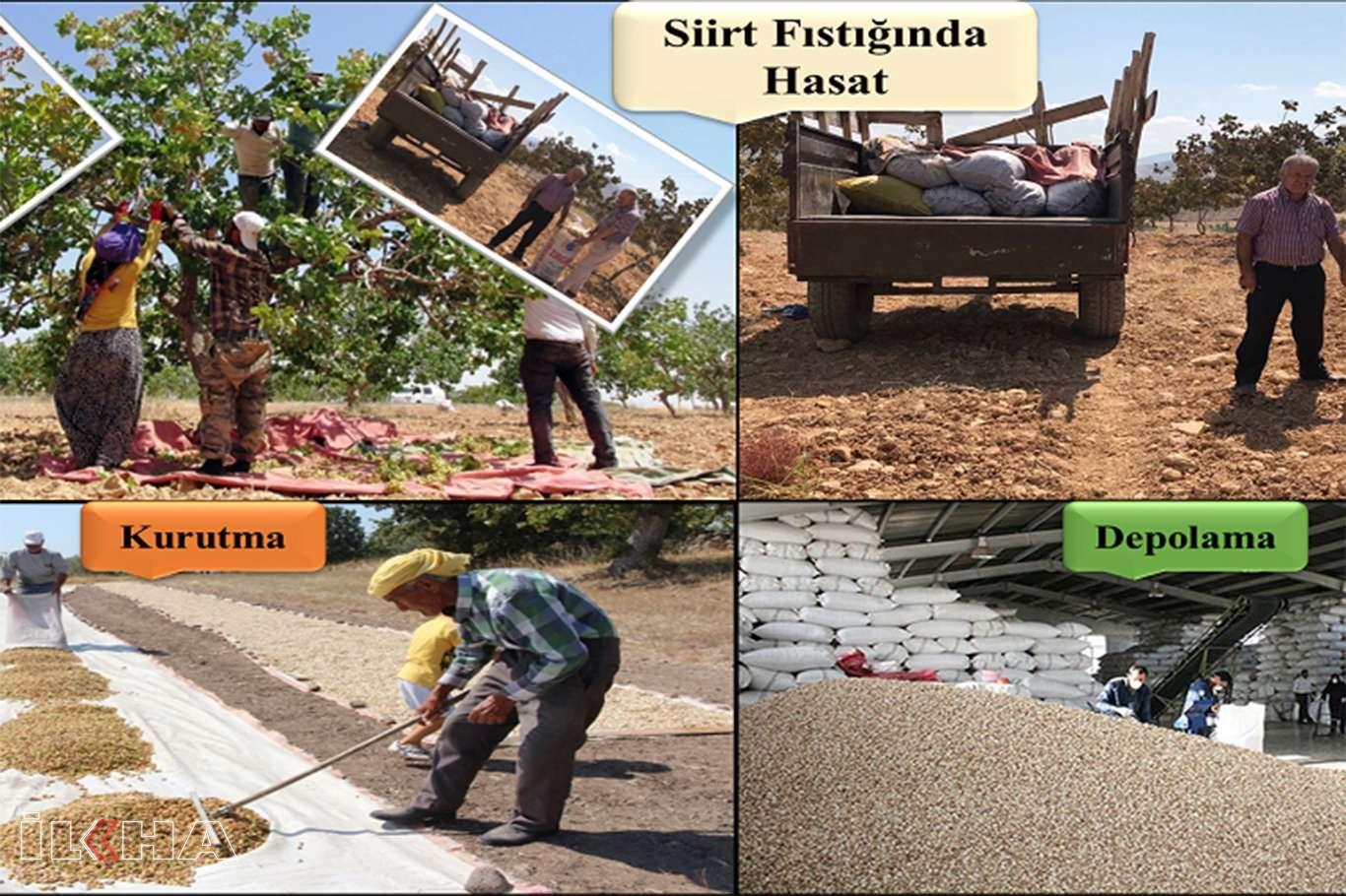 Fıstık üreticilerine tekniğine uygun hasat uyarısı