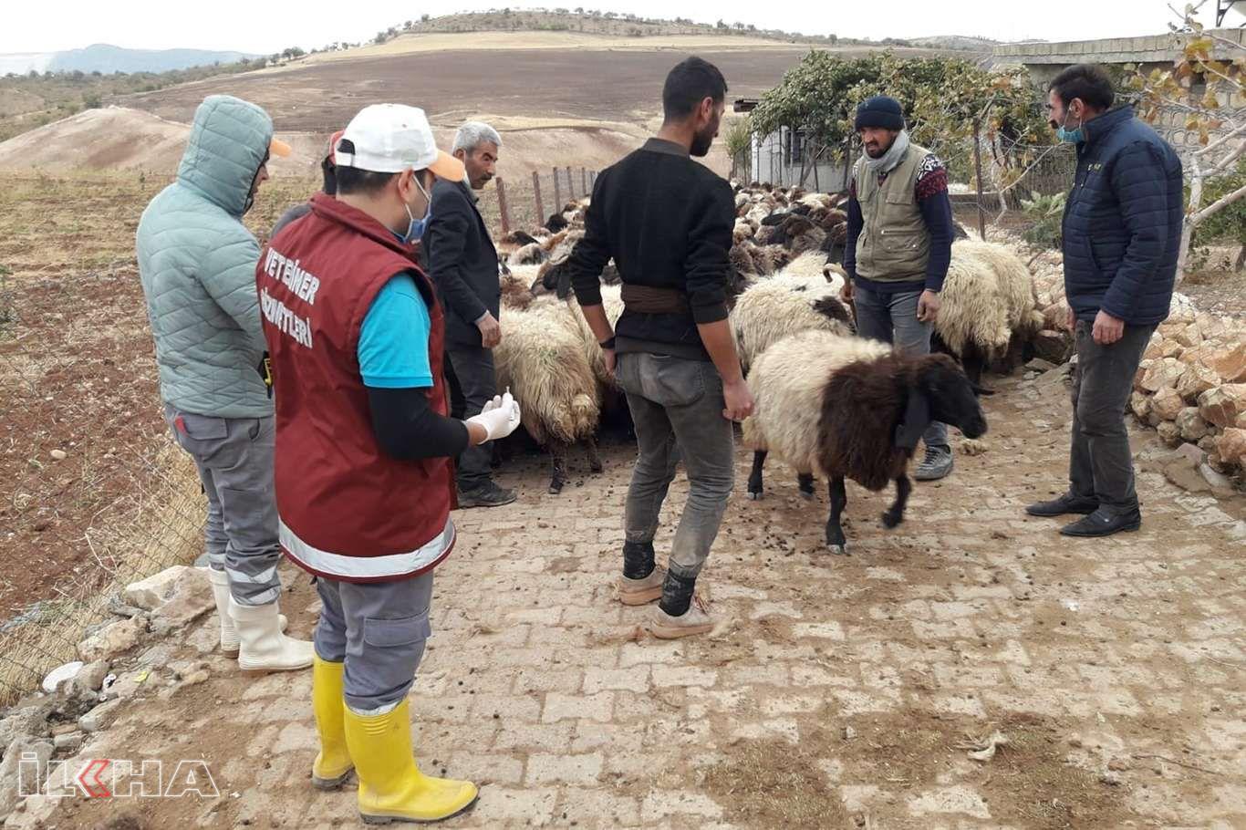 Siirt'te küçükbaş hayvanlara yönelik aşılama programı başlatıldı