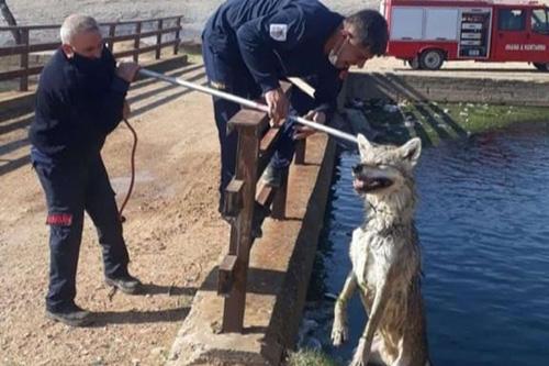 Sulama kanalına düşen kurt kurtarıldı