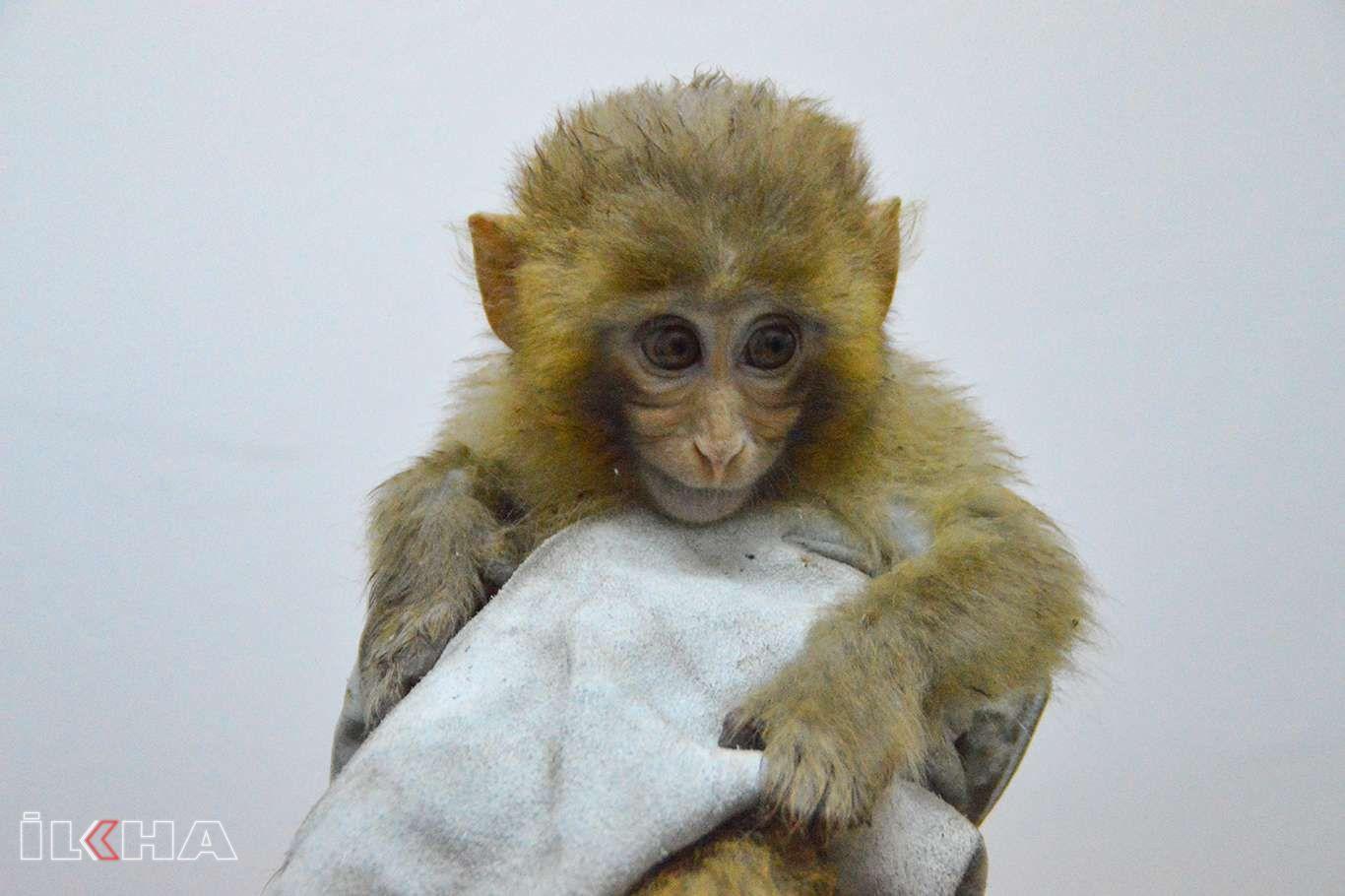 Ağrıda yakalanan 12 maymun Gaziantepe götürüldü