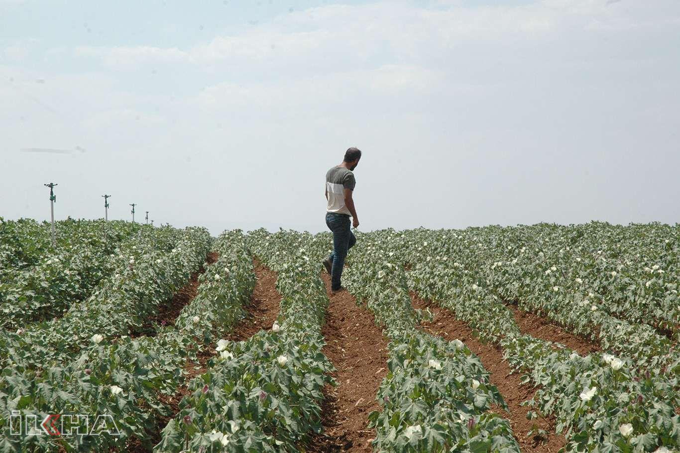 Pamuk tarlaları elektrik kesintileri nedeniyle kuruma riskiyle karşı karşıya
