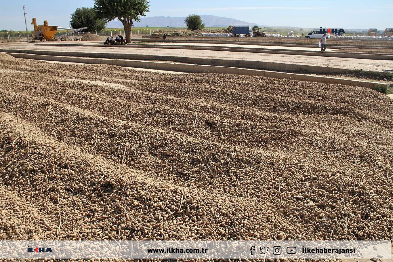 Yerfıstığı üretiminde rekor artış yapan Şırnak'ta hasat şenliği