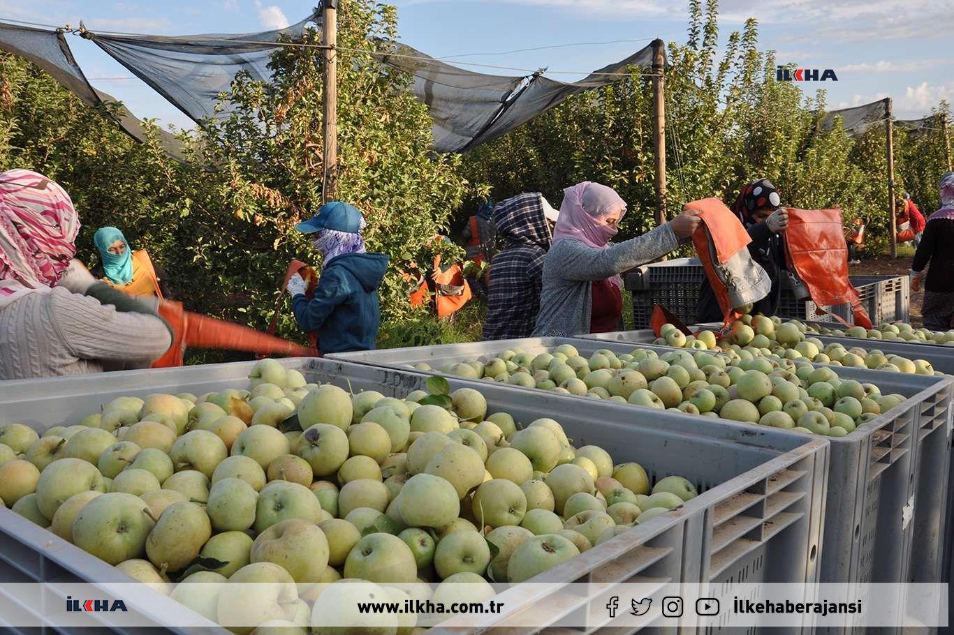 Bölgenin en büyük elma bahçesinde hasat devam ediyor