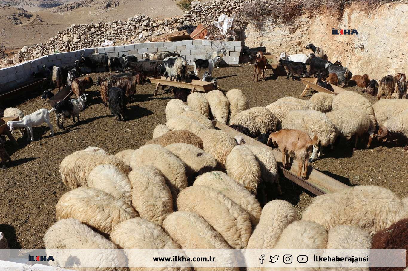 Kırsal mahallelere salınan köpekler onlarca koyunu telef etti
